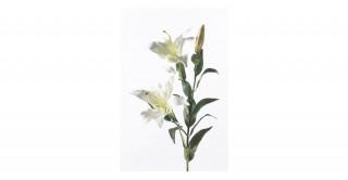 Lilium White Spray