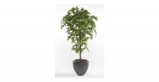 Ficus Deluxe 170Cm Trees