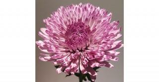 Chrysanthum Purple Spray