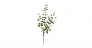 Green Eucalyptus