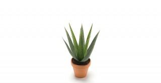 Aloe Vera 23 cm / 15 Lvs In Pot 11 cm