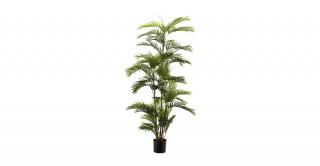 Phoenix Palm 180Cm Trees