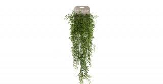 Jasmin Mini 80Cm Potted Plant