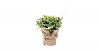 Mint 19Cm Succulent & Bonsai