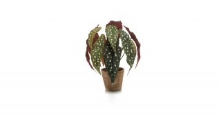 Begonia 33Cm Potted Plant