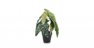 Begonia 30Cm Potted Plant