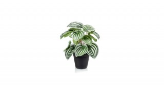 Peperomia 25Cm Potted Plant