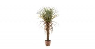 Yucca Wild 110cm In Pot