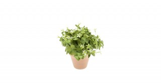 Oxalis Bush 24cm Green/Wht