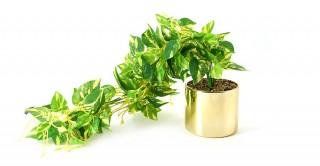 Chester Plant Green 12 cm